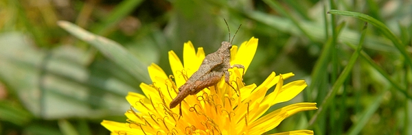 Pigmy grasshopper