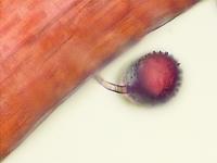 Grain de pollen germant par la paroi
