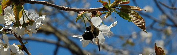 Prunus and pollinator