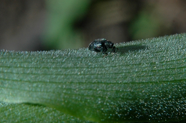 A tiny weevil